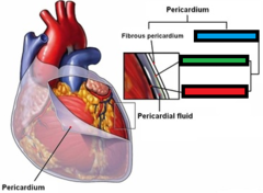 blue box = serous pericardium (breaking down the other two boxes) green box = parietal layer of serous pericardium  red box = visceral layer of serous pericardium