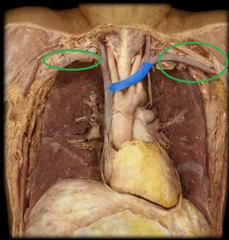 l. and r. subclavian veins