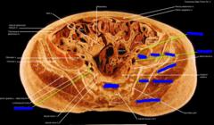 (left) psoas major, (middle) iliacus, (right) (ilium), (far right) gluteus minimus