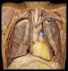 left pulmonary artery (right pulmonary artery passes inferior to aortic arch)