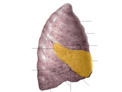 middle lobe of right lung