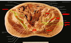 (outer) external artery and vein,