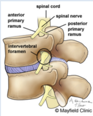 Spinal Nerves - Intevertebral Neural Foramina
