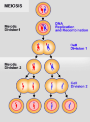 By what process are gametes produced?
