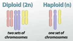 Haploid or diploid:  liver cell gamete egg cell zygote skin cell sperm somatic cell sex cell