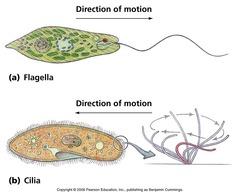 How do flagellates move?