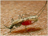 How is someone infected with malaria?