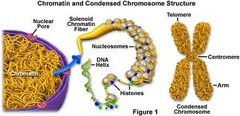 How many chromosomes are in human cells? What is a chromosome?