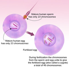 What is another term for a fertilized egg?