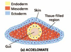 acoelomate definition