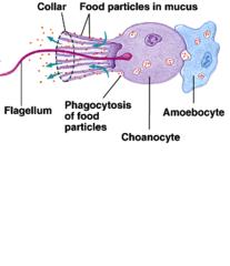 Amoebocyte