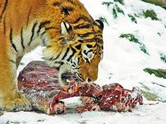 Carnivores  SENTENCE: A lion is a powerful carnivore that only eats other animals, such as gazelles.