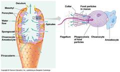 Choanocyte