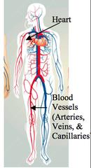 Circulatory System Function and Main Organs