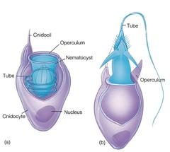 cnidocytes