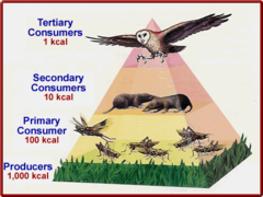 Energy Pyramid  SENTENCE: Energy Pyramid is a diagram that shows the amount of energy that moves from one feeding level to another in a food chain.
