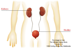 Excretory System Function and Main Organs