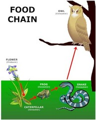 Food Chain  SENTENCE: The food chain is many times composed of plants and animals that are inter connected.