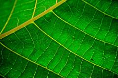 green pigment that captures sunlight