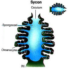 List 2 characteristics of the sycon body form of a sponge.