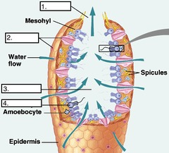 Porifera and cnidarians essay examples tiny in current pores that allow water to flow into sponge carrying with the the nutrients and oxygen that it needs for survival 2 ccuart Choice Image
