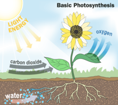 Photosynthesis Vs Cellular Respiration Example