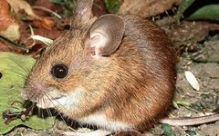 Prey  SENTENCE: The little rat was an easy prey for the snake.