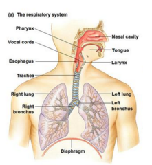 Respiratory System Function and Main Organs
