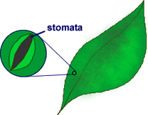 small openings on a leaf that let oxygen and carbon dioxide enter and leave