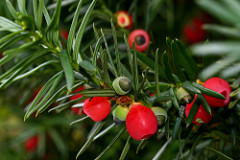What are conifers?