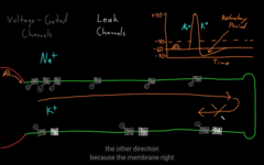 AP goes only in one direction, why?  Learn how action potential working and, leak channels and voltage gated.