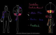 Cerebellum coordinating movement