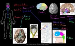 cranial nerves pass the skull out in the periphery