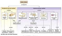 glial cells (support cells)  Neurons ( send message)