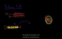 glial of the PNS, schwan cells (shapeless cells)
