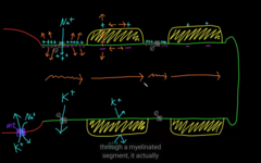 How does myelination changes action potential? larger vs. smaller axon
