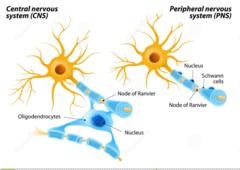 oligodendrocytes vs. schwan cells