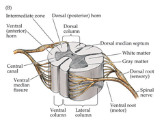 spinal nerve roots