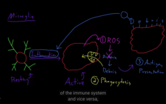 the microglial cells acts like an immune system in the CNS, they find inflammation, it gets activated, and it kills the bacteria or whatever causing the inflammation.