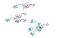 The space between the pre- and post synaptic cleft are called