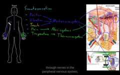 What are some of the somator receptors for pain?
