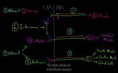 what are the function type of neurons