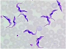 What is the characteristic appearance of the agent of African trypanosomiasis?